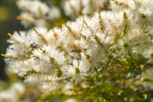 Tea Tree (Melaleuca Alternifolia) Close-up