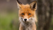 Portrait Of A Red Fox Vulpes Vulpes In The Wild, With Mite Parasite