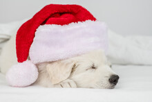 White Swiss Shepherd Puppy Wearing  Red Christmas Hat Sleeps Under White Warm Blanket On A Bed At Home