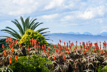 Blossoming Red Aloes Of South Africa With A View Of Cloudy Sky And Distant View Of Mountains