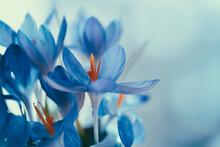 Closeup Shot Of Blue Crocus Flowers