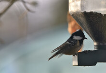 Coal Ti Eating At The Feeder