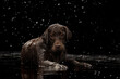 Leinwandbild Motiv Portrait of chocolate color big Labrador Retriever dog in water splashes and drops posing isolated over dark background. Beauty and grace