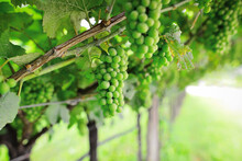 Growing Green Unripe Bunch Of Grapes. Vine And Bunch Of White Grapes In Garden. Delicate Small Fruits And Green Leaves Of Grape Vine In A Sunny Summer Garden.