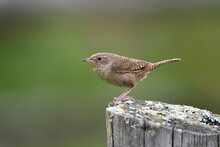 House Wren Sits Perched On A Fence Post