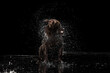 Leinwandbild Motiv Summer wet mood. Portrait of chocolate color big Labrador dog playing in water splashes isolated over dark background. Beauty and grace.
