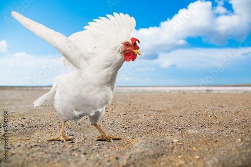 Fotografie, Obraz Chicken.