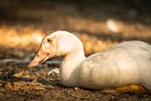 White Duck Sitting On The Ground, Profile Portrait Photo