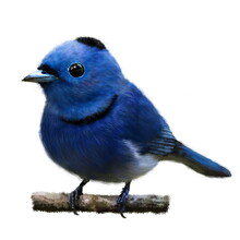 Black-naped Monarch (Blue Flycatcher), The Beautiful Blue Bird On The Branch, Hand Drawn Isolated On A White Background