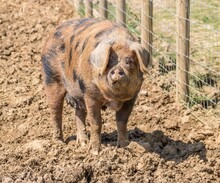 Gloucestershire Old Spots Pig An English Breed Of Pig With Black Spots