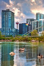 Geese Swimming On A Lake By Downtown Calgary