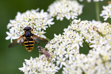 Wasp On Some Flowers Being Attacked