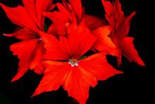 Red Flower On Black