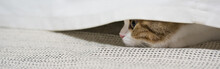 Web Banner Pet Activity With Scottish Straight Kitten Play With Fun And Happiness