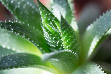 Green Aloe Vera Plant Closeup In Low Afternoon Light, Indoor Gardening Concept