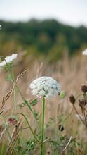 Flores Silvestres Blancas En Pradera De Asturias