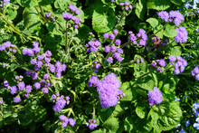 Lilac Flowers Of Ageratum With Green Leaves.
