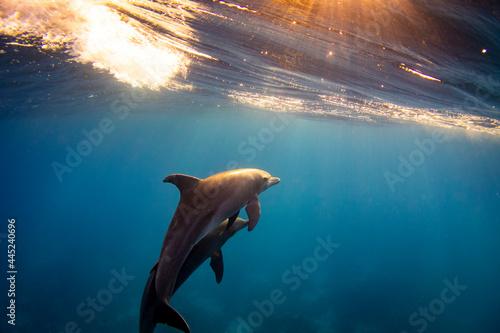Fototapeta Bottlenose dolphin (Tursiops truncatus) family in the red sea