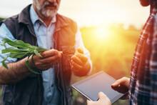 Farmers Examine Corn On Field