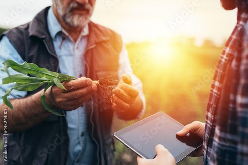 Obraz na plátně farmers examine corn on field
