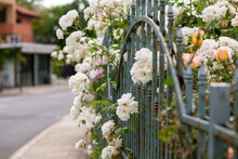 Closeup Shot Of White Peony Flowers Behind Rusty Gates On A Blurred Background