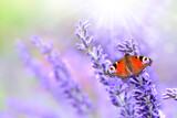 Fototapeta Natura - Schmetterling 909