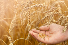 Close-up Of Man's Hand Holding Ripe Wheat Grains On A Field. Summer Concept, Harvest Time. Eco Products. Selective Focus.