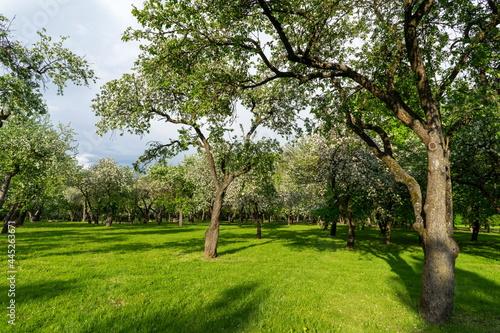 Fotografiet Blooming apple trees in the park of the Loshitsa estate in Minsk