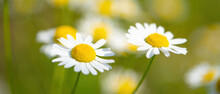White Chamomile Flowers On A Green Background