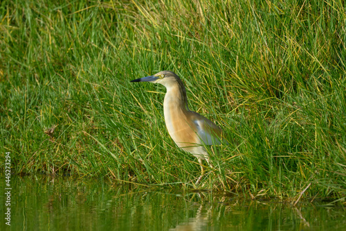 Fototapeta premium Squacco Heron Fishing on the Pond with Green Grass in Early Morning
