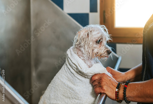 Fotografiet Close-up of a bichon maltese dog with a towel after bathing it