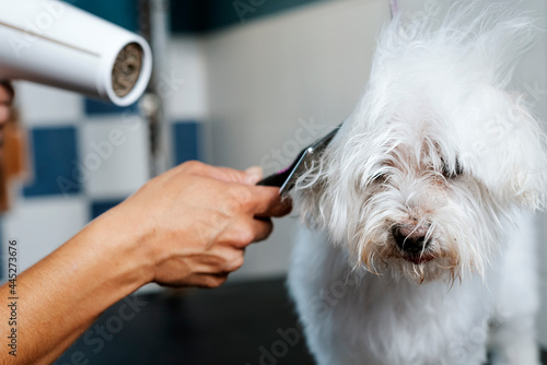 A dog groomer dries a bichon maltese dog with a hair dryer. Fototapet