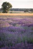 Lawendowa plantacja - 445279404