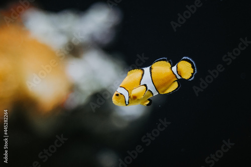 Murais de parede Cute yellow Ocellaris clownfish with white stripes in an aquarium