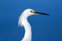 Closeup Of A Snowy Egret Walking By At Very Close Range Against The Blue Background Of Lake Waters.