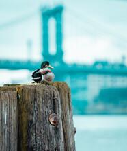 Bird On A Fence Skyline Manhattan Bridge Duck