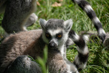 Closeup Of A Funny Ring-tailed Lemur (Lemur Catta) Looking Aside On The Grass
