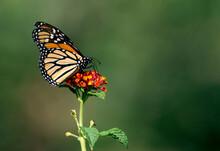 Monarch Butterfly On Orange Lantana Flower In Riverside California