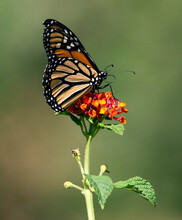 Monarch Butterfly On Lantana Flower And Bokeh Green Background