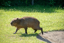 Beautiful Shot Of A Capybara (Hydrochoerus Hydrochaeris) Walking On The Lawn In A Park