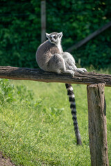 Ring-Tailed Lemur in a natural environment