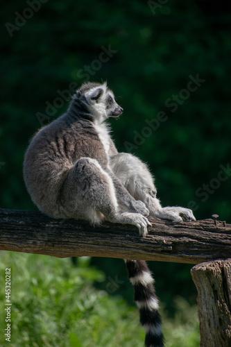 Fototapeta premium Ring-Tailed Lemur in a natural environment