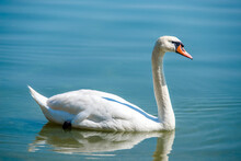 White Swan Swim In The Lake