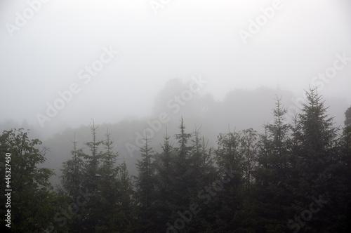 Wierzchołki wysokich choinek we mgle