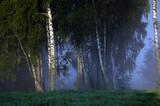Polana wysokie brzozy spowite mgłą po wschodzie słońca