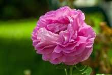 Closeup Shot Of Double Purple Rose Against Blurred Background - Great For Wallpaper