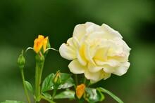 Rose - Blume - Garten