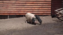 A Big Pig Walks Next To Small Pigs, Bathes In The Mud In The Zoo Running Through The Mud