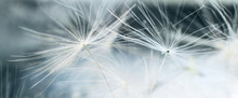 A Drop Of Water On Dandelion.dandelion Seed On A Blue Abstract Floral Background With Copy Space Close-up. Banner.