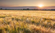 Leinwandbild Motiv Wheat field at summer sunset, Agriculture